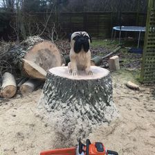 Pug stump carving
